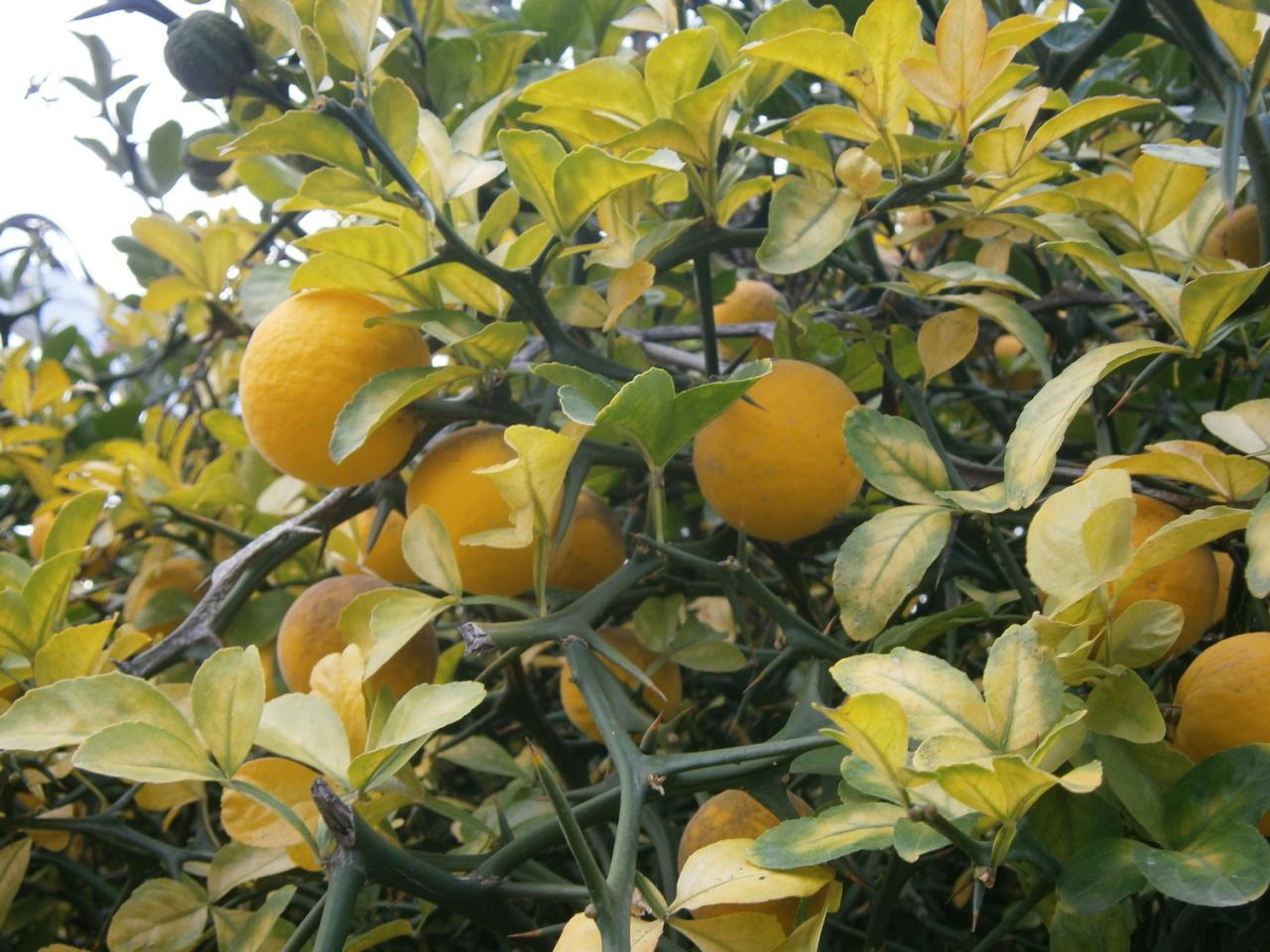 citronnier-sauvage-1.jpg