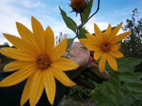 fleur-de-tompinaubour.jpg